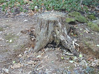 the tree stump